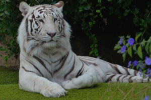 white-bangal-tiger